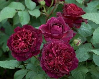 10 Classic English Shrub Munstead Wood Rose Bush Flower Seeds - US Seller - Purple Colored Very Fragrant Rose Seeds - Popular English Rosa
