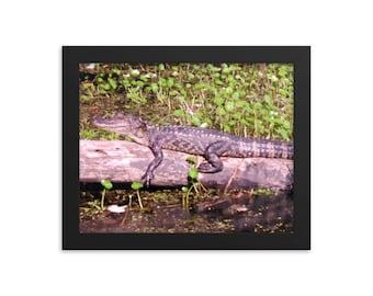 Framed  Alligator Glossy Photo Poster