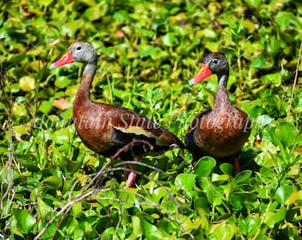 Black Bellied Whistling Duck - Pinckney Island National Wildlife Refuge