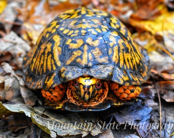 Eastern Box Turtle in Leaves - Wayne National Forest