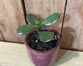 Mini Potted Jade Plant - Crassula Ovata - Money Plant - Succulent - Houseplant - Pink Pot