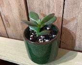 Mini Potted Jade Plant - Crassula Ovata - Money Plant - Succulent - Houseplant - Dark Green Pot