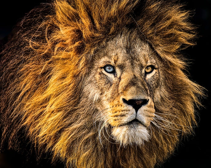 Big Cat, King Of The Jungle, Lion King, Fine Art Canvas Print, Master Of Photography