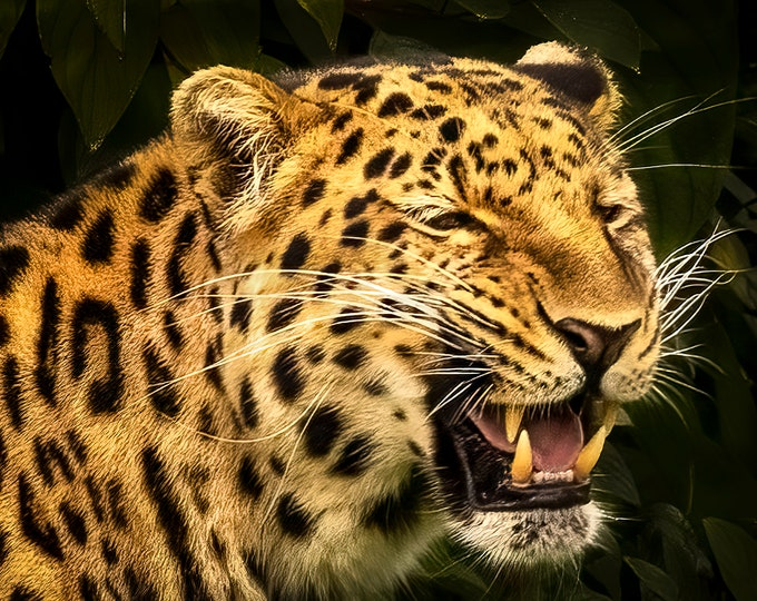Leopard, Print or Canvas Print Master Of Photography