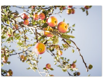 Apples on Apple trees in Autumn in Germany / harvest / nature / sky  - Premium Matte Paper Poster