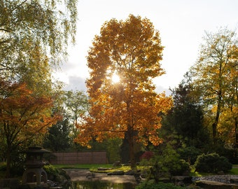 Kyoto Garden during perfect Autumn day in Holland park - Wall Art, Decor, Print - Digital download Photography