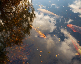 Koi Fishes in Kyoto Garden in Holland park - Wall Art, Decor, Print - Digital download Photography