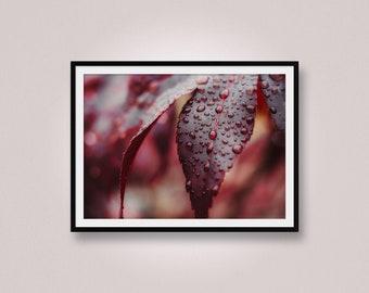 Macro Rain Drops on a Japanese Maple Leaf, Macro Photography, Close-up Photography