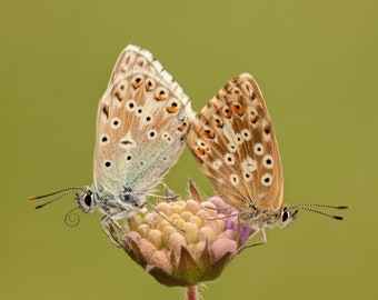 ChalkHill Blue butterflies on scabious