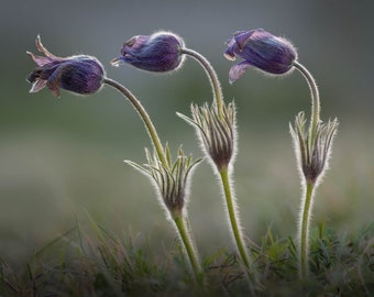 Pasque Flowers at Sunset