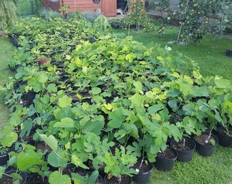 Fig plants and cuttings presale