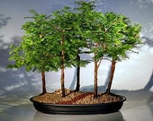 California Dawn Redwood, Metasequoia, 25 seeds, grows quickly, zones 4 to 9, great shade tree, perfect for bonsai photo