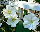 Giant Moonflower Vine, Calonyction, 10 seeds, huge white blossoms, sweet fragrance, night bloomer, annual vine, all zones, cool houseplant photo
