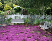 Creeping Thyme ground cover, 1000 seeds, fragrant herb, pink blooms, perennial zones 4 to 9, sun or light shade, deerproof, Thymus serpyllum photo