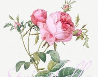 Pink Rose de Mai | Pierre Redoute| Printable Illustration | Vintage | Digital Download | Wall Decor | Botanical| Instant Download