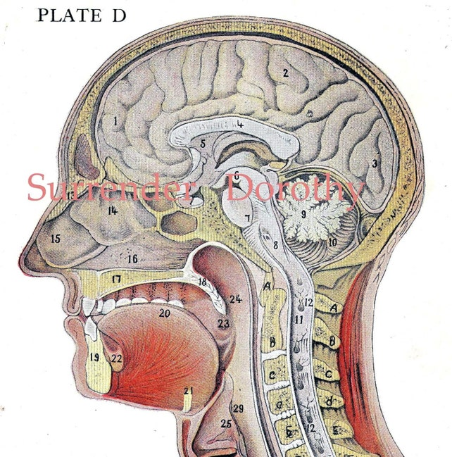Cross Section Human Head Brain Anatomy Lithograph Illustration Etsy