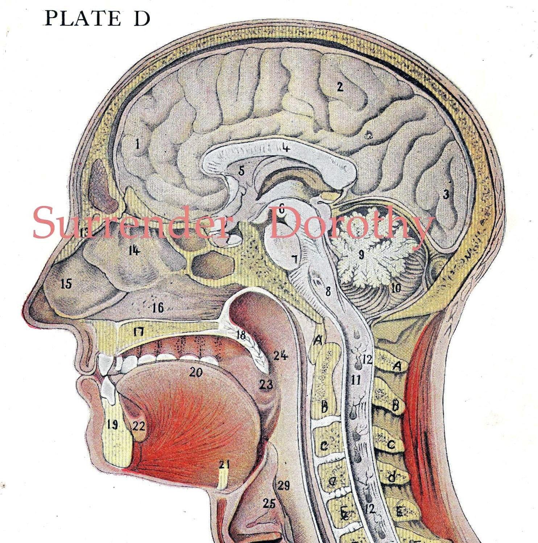 Cross Section Human Head Brain Anatomy Lithograph Illustration Etsy