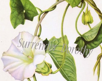 Morning Glory Flower Vintage Botanical Lithograph Art  Print To Frame 1950s 152