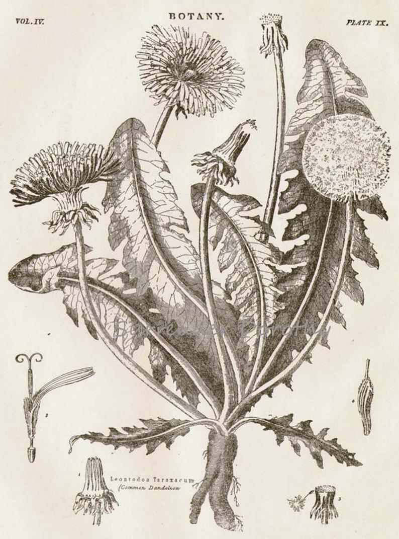 Dandelion Flower Plant Liontrodon Taraxacum 1892 Victorian Antique Botanical Herbalist Chart To Frame Black /& White