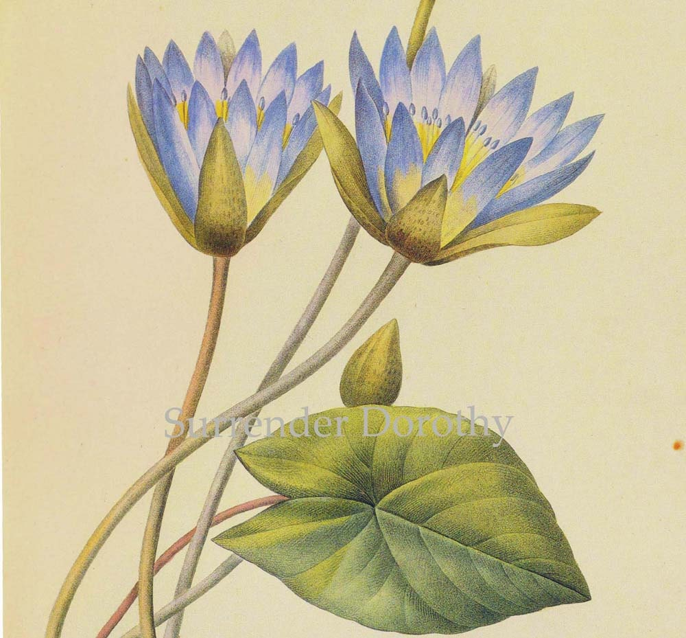 Blue Lotus Waterlily Nymphaea Caerula Flower Vintage Poster Etsy