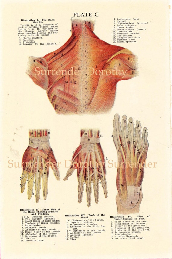 Human Anatomy Hand Foot Back Muscle Chart Vintage Medical Etsy