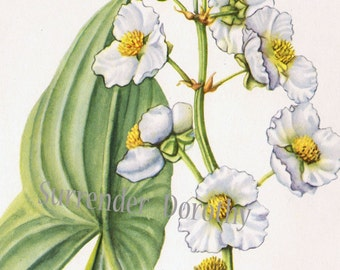 Arrowhead Flower Vintage Botanical Lithograph 1950s Wildflower Art Print To Frame 7