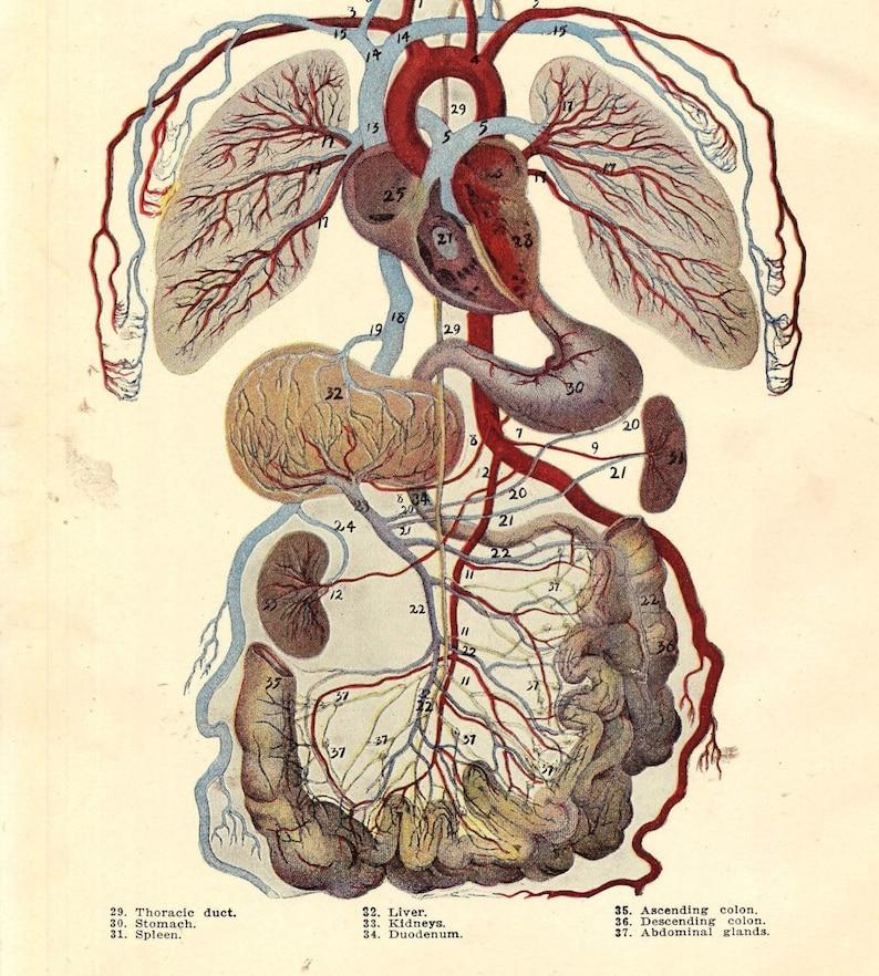 Vintage Human Anatomy Circulatory System 1920s Original Etsy