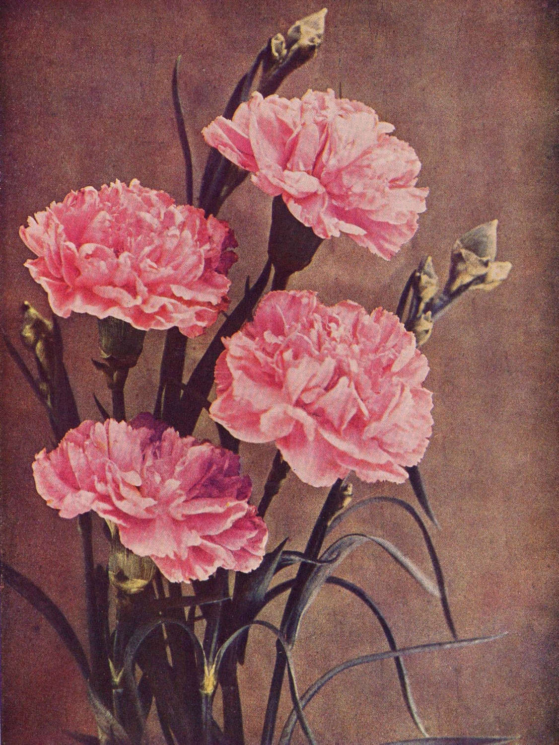 It is a graphic of Canny Pink Carnation Drawing