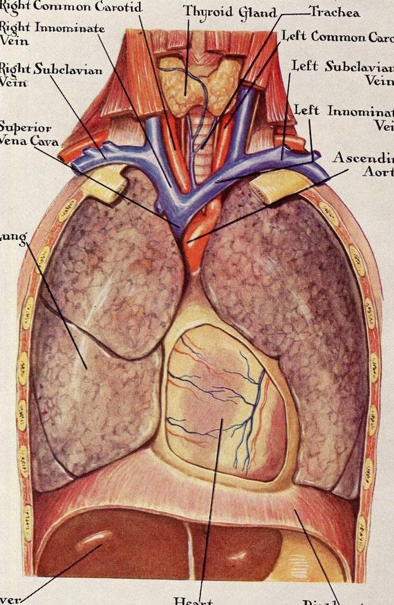 Menschliche Anatomie Lunge Atemwege Jahrgang medizinische | Etsy