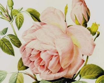 Pink Tea Rose Redoute Rosa Odorata Vintage Flower Botanical Lithograph Poster Print To Frame 40