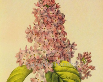Lilac Syringa vulgaris Vintage Illustration Wild Flower Lithograph By Redoute Botanical Print To Frame 107