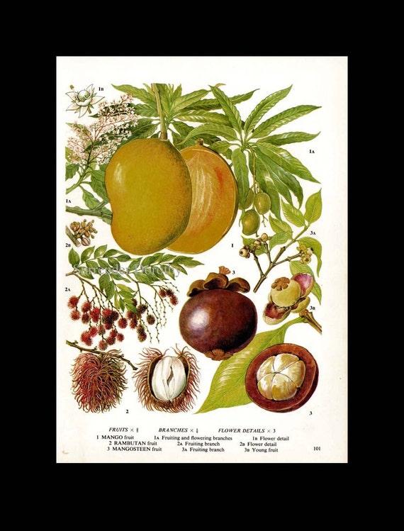 Mango Rambutan Mangosteen Tropical Fruit Chart Food Botanical Lithograph  Illustration For Your Vintage Kitchen 101