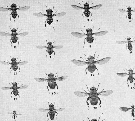 Fly Chart Edwardian Entomology 1907 Natural History | Etsy