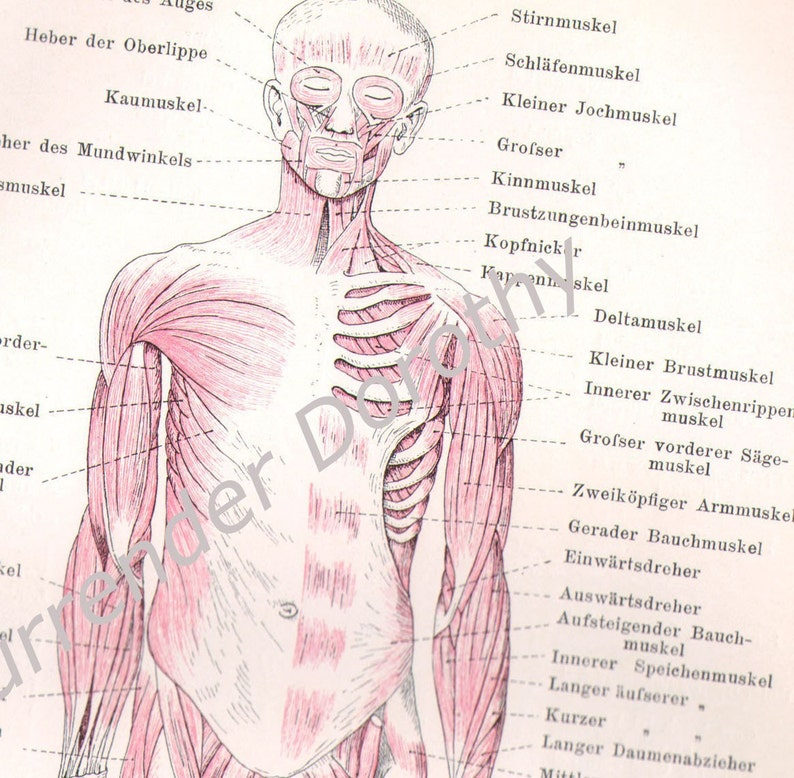 Muscular System Chart Human Anatomy 1903 Vintage Edwardian Etsy