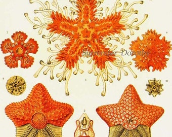 Asteridea Starfish Formations & Barnacles Haeckel Vintage Print Natural History Oceanography Victorian Scientific Lithograph To Frame