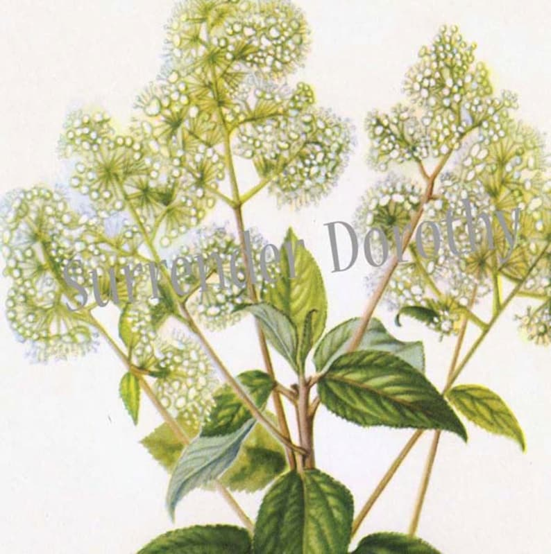 New Jersey Tea Flower Vintage Botanical Lithograph Art  Print To Frame 1950s 107