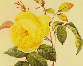 Yellow Rose Rosa Odorata Sulphurea Vintage Wild Flower Redoute Botanical Lithograph Poster Print To Frame 90