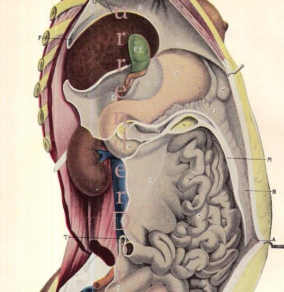 Weiblichen Körper Vertikalschnitt Anatomie Diagramm Femme   Etsy