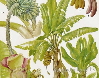 Banana Palm Tree Tropical Fruit Chart Food Botanical Lithograph Illustration For Your Vintage Kitchen 109