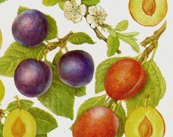 Summer Plums Fruit Chart Food Botanical Lithograph Illustration For Your Vintage Kitchen 71
