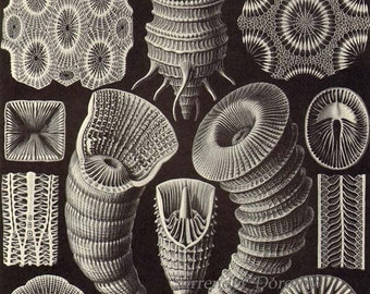 Coral Formations Haeckel Print Natural History Oceanography Victorian Scientific Lithograph To Frame