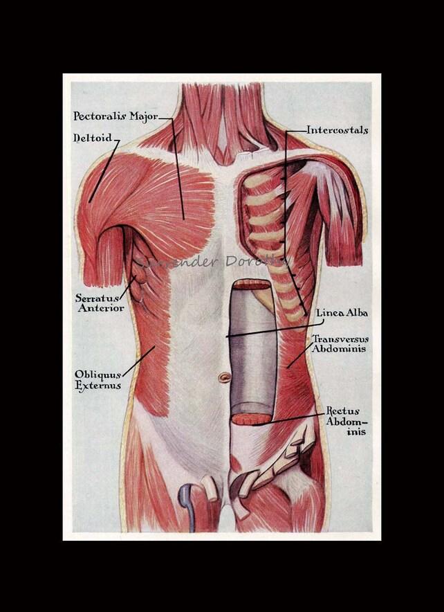 Músculos tronco Torso Anterior anatomía humana Carta médica | Etsy