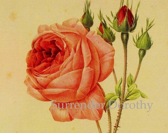 Pink Rose Rosa centifolia Bullata Vintage Wild Flower Redoute Botanical Lithograph Poster Print To Frame 82