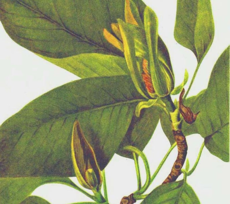 Cucumber Tree Magnolia Acuminata Flowers Vintage 1955 Etsy