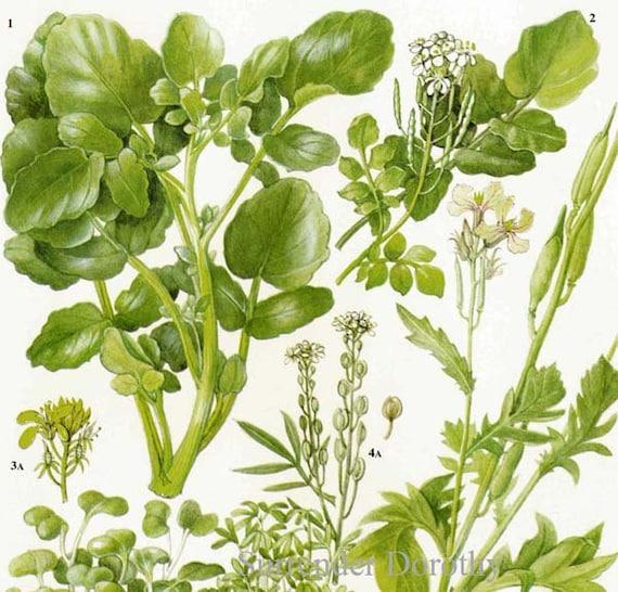 Watercress Cress Mustard Rocket Salad Plant Flowers Food Chart   Etsy
