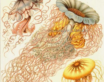 Jellyfish Formations Discomedusae Haeckel Print Vintage  Natural History Oceanography Victorian Scientific Lithograph To Frame
