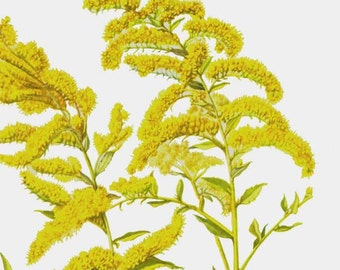 Canada Sharptooth Goldenrod Flower 1950s Vintage Botanical Lithograph Art Print To Frame 207