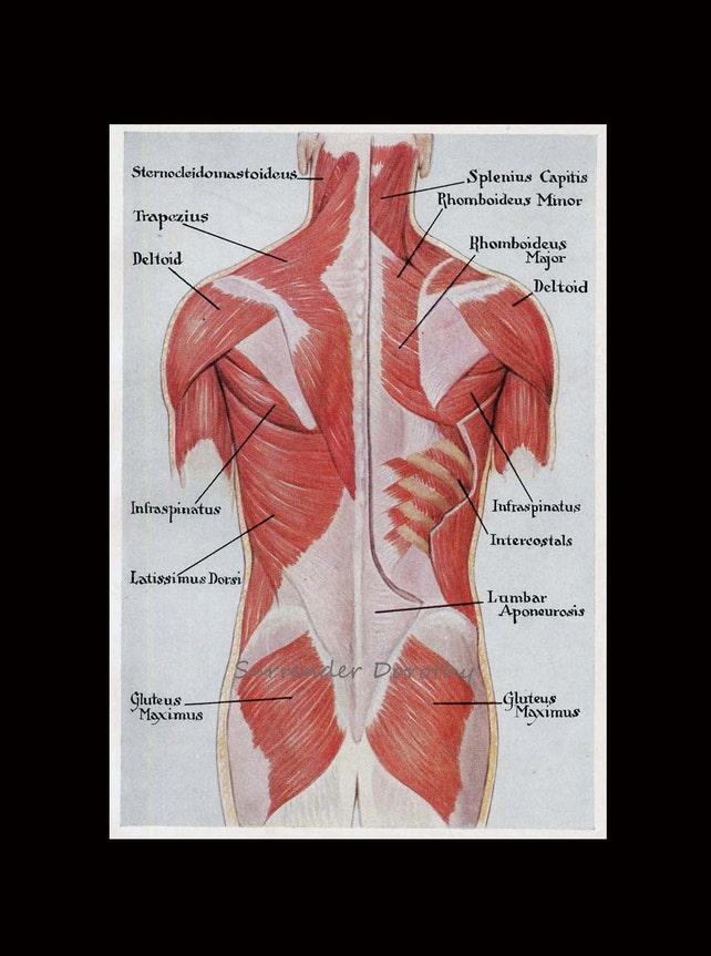 Muskeln zurück hinteren menschlichen Anatomie Jahrgang | Etsy