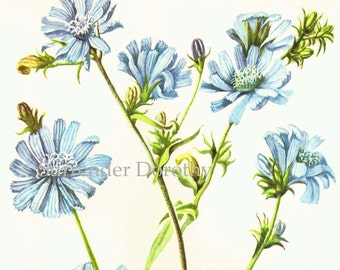 Blue Chicory Flower 1950s Vintage Botanical Lithograph Wildflower Art Print To Frame 230