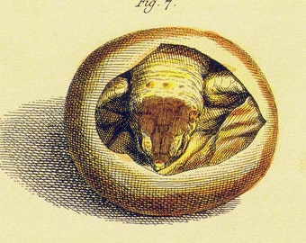 Hatching Young Tortoise Turtles Herpetology Natural History Lithograph Chart Poster Print To Frame
